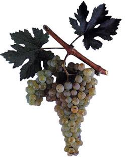 Сорта винограда Terbas10