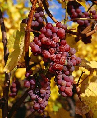 Сорта винограда Tramin10