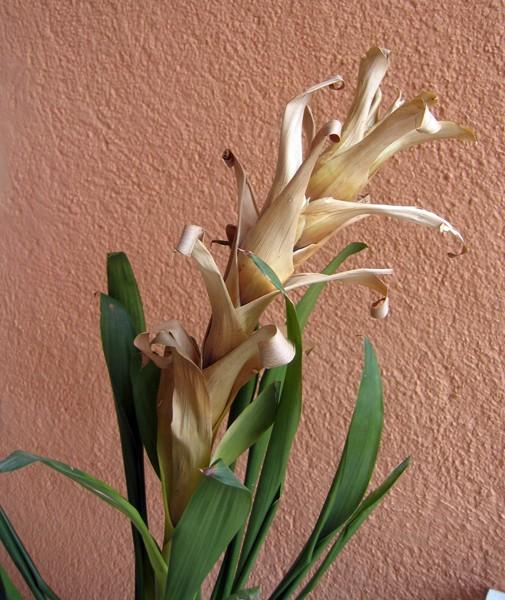 Quelle est cette plante ? [Guzmania] Inc110