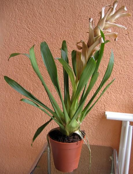 Quelle est cette plante ? [Guzmania] Inc210