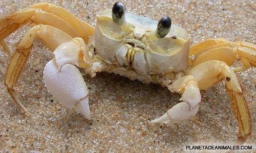 La inmortalidad del cangrejo Cangre10