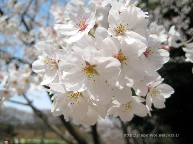 Flor de Cerezo Sakura10