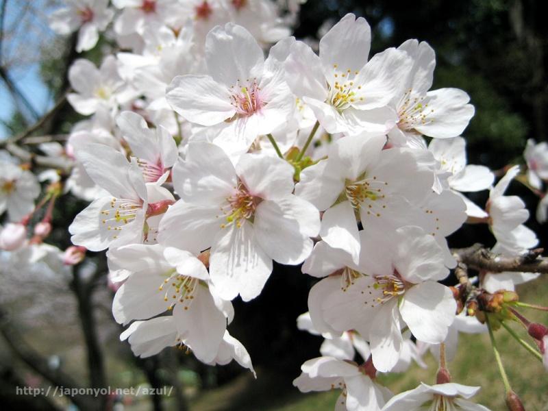 Flor de Cerezo Sakura11