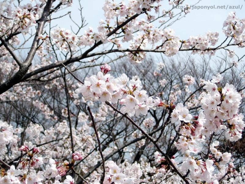 Flor de Cerezo Sakura12