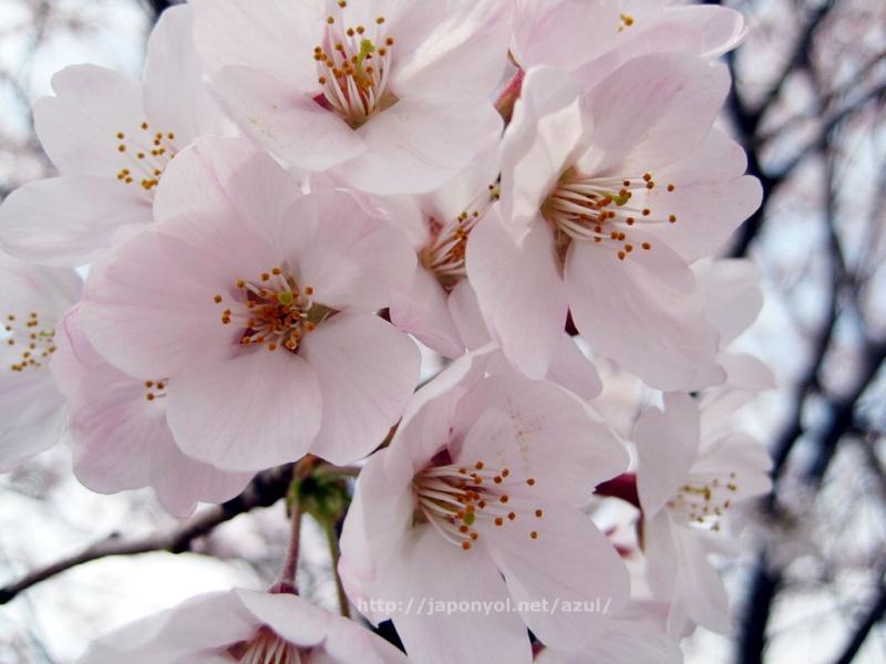 Flor de Cerezo Sakura13
