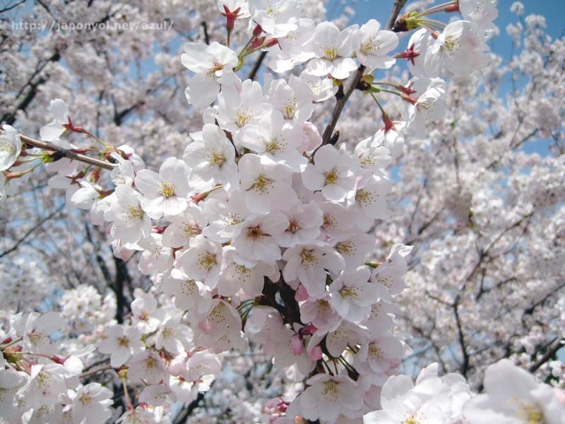 Flor de Cerezo Sakura14