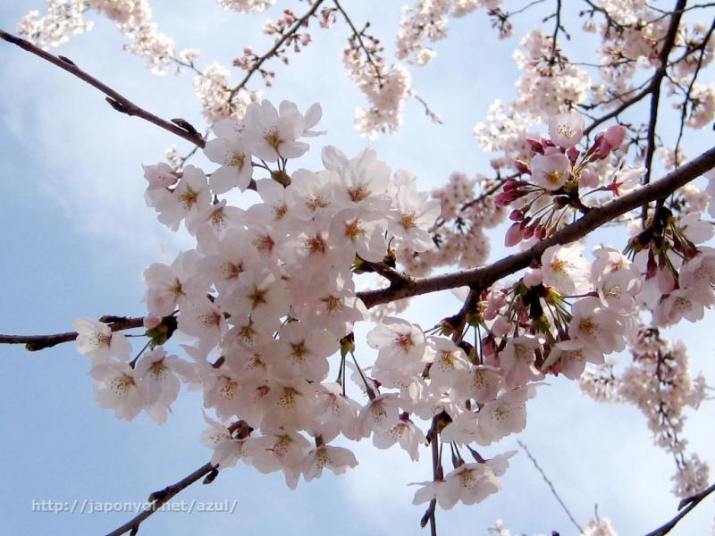 Flor de Cerezo Sakura15