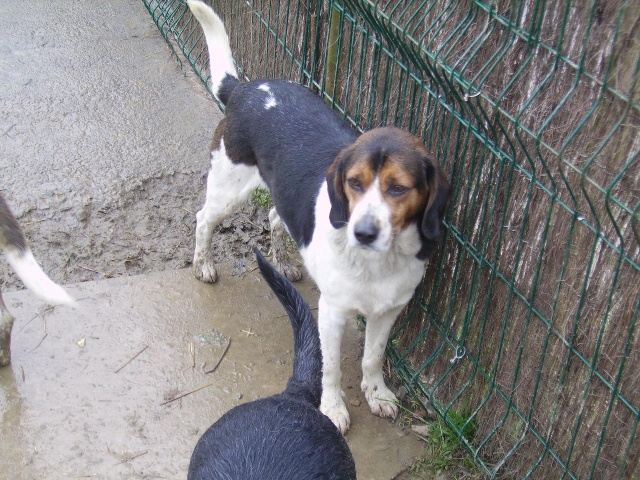 HECTOR, croisé beagle mâle, né en 2003 Photo_11