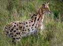 Les fauves de ma vie Serval10