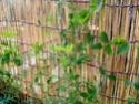 Floraison des pois de senteur Pois_d10
