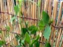 Floraison des pois de senteur Pois_d11