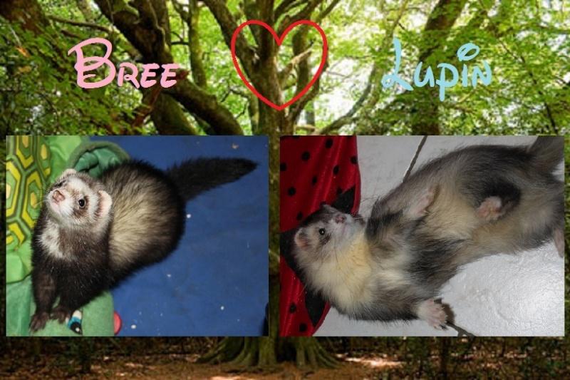 Bree X Lupin : 5 furetons nés le 15 Mai 2012 Bree_x10