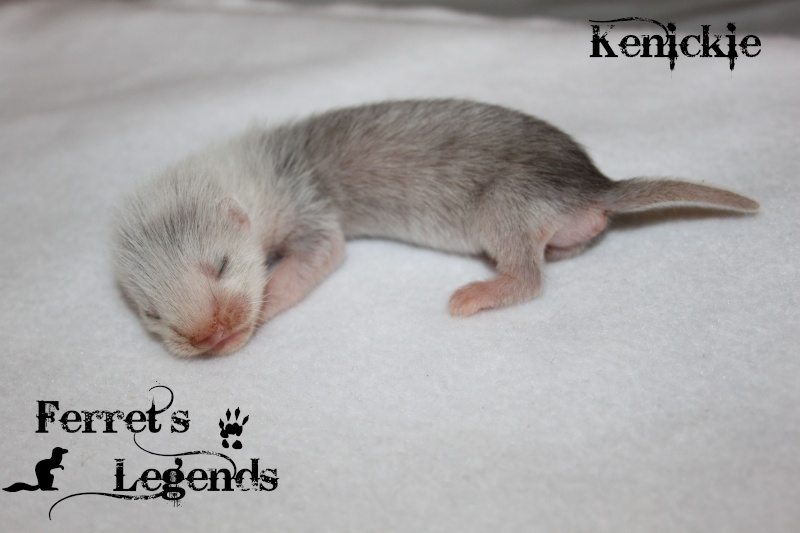 Bree X Lupin : 5 furetons nés le 15 Mai 2012 Ms_410