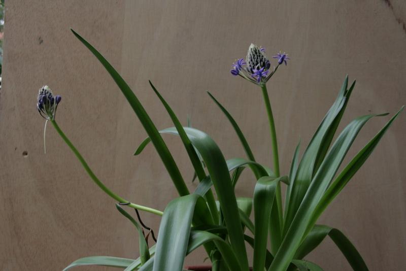 Qui connait cette plante à bulbe? Img_2810