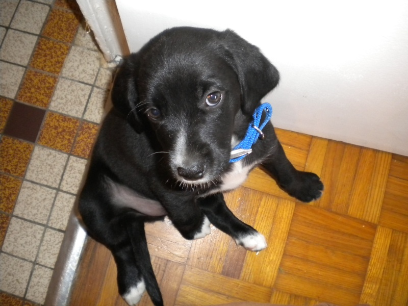 Gino, labrador noir 11 m TJS RECHERCHE , DISPARU le 30/01/2012  a LAHONTAN  dep 64 Dscn2214