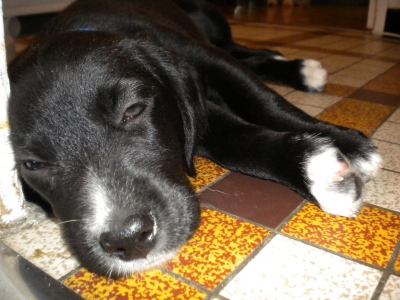 Gino, labrador noir 11 m TJS RECHERCHE , DISPARU le 30/01/2012  a LAHONTAN  dep 64 Dscn2215