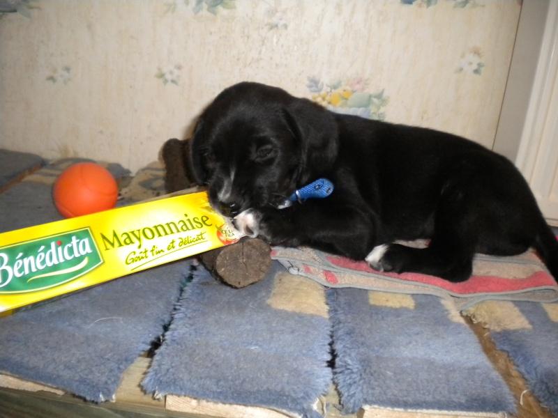 Gino, labrador noir 11 m TJS RECHERCHE , DISPARU le 30/01/2012  a LAHONTAN  dep 64 Dscn2218