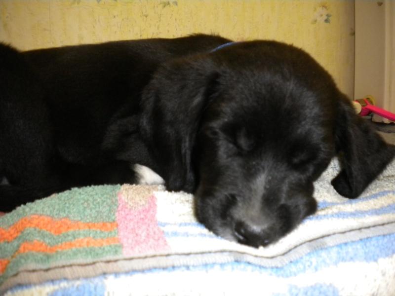 Gino, labrador noir 11 m TJS RECHERCHE , DISPARU le 30/01/2012  a LAHONTAN  dep 64 Dscn2219