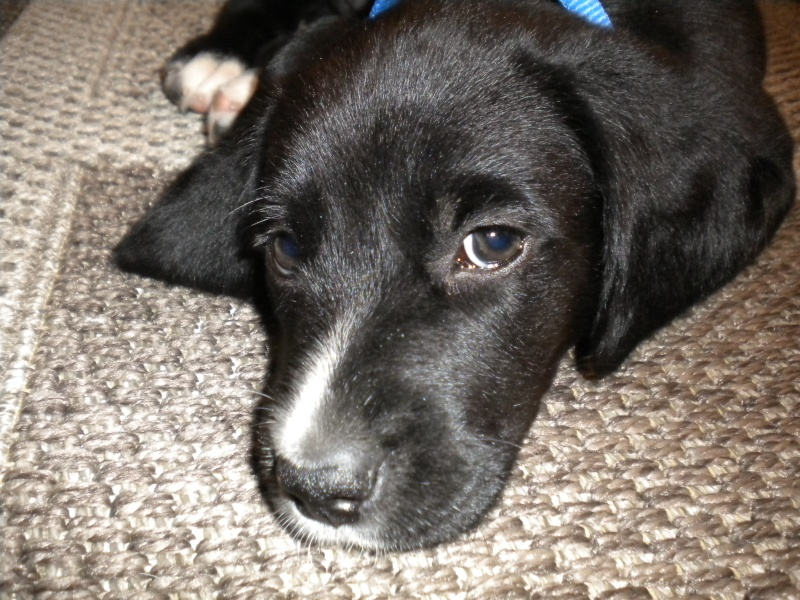 Gino, labrador noir 11 m TJS RECHERCHE , DISPARU le 30/01/2012  a LAHONTAN  dep 64 Dscn2220