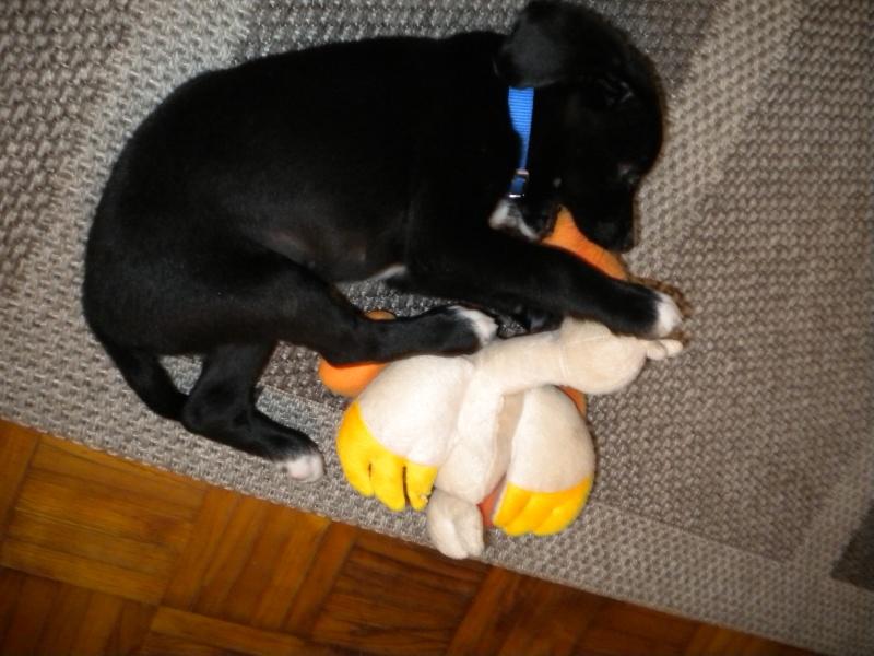 Gino, labrador noir 11 m TJS RECHERCHE , DISPARU le 30/01/2012  a LAHONTAN  dep 64 Dscn2223