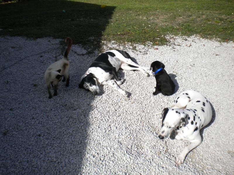 Gino, labrador noir 11 m TJS RECHERCHE , DISPARU le 30/01/2012  a LAHONTAN  dep 64 Dscn2314