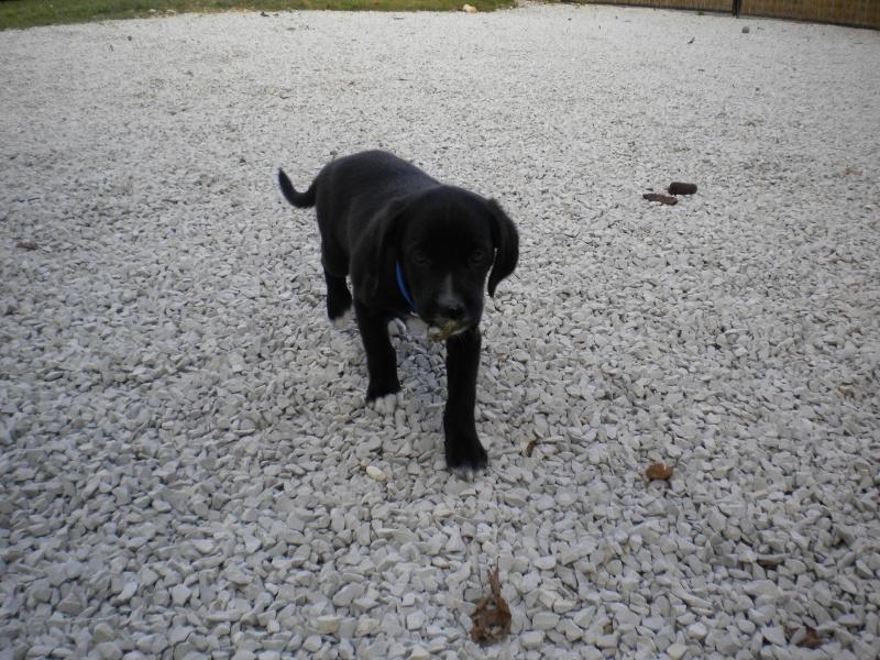 Gino, labrador noir 11 m TJS RECHERCHE , DISPARU le 30/01/2012  a LAHONTAN  dep 64 Dscn2318