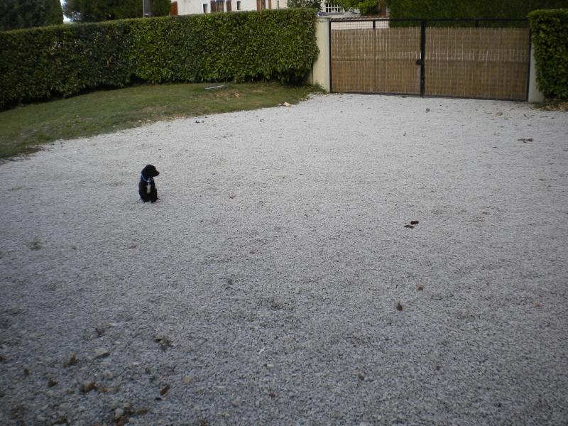 Gino, labrador noir 11 m TJS RECHERCHE , DISPARU le 30/01/2012  a LAHONTAN  dep 64 Dscn2319