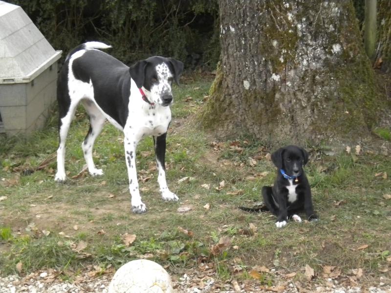Gino, labrador noir 11 m TJS RECHERCHE , DISPARU le 30/01/2012  a LAHONTAN  dep 64 Dscn2320