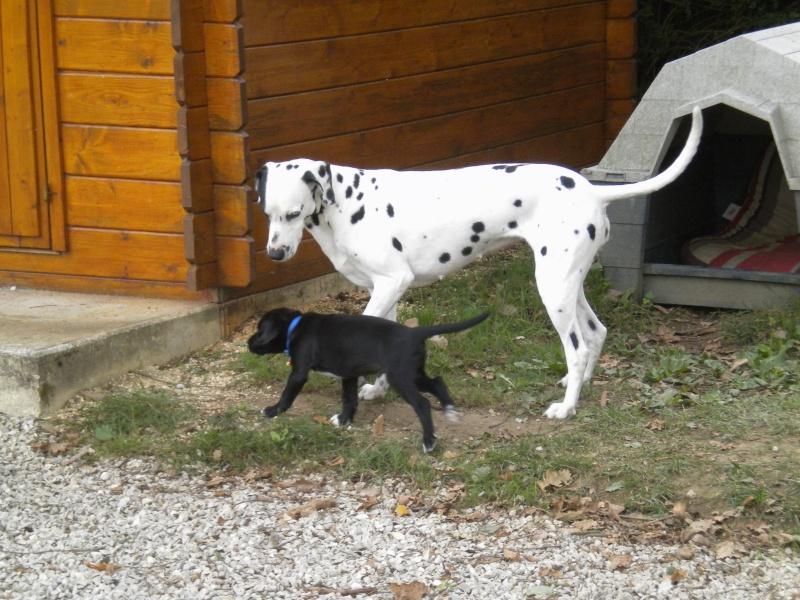 Gino, labrador noir 11 m TJS RECHERCHE , DISPARU le 30/01/2012  a LAHONTAN  dep 64 Dscn2321