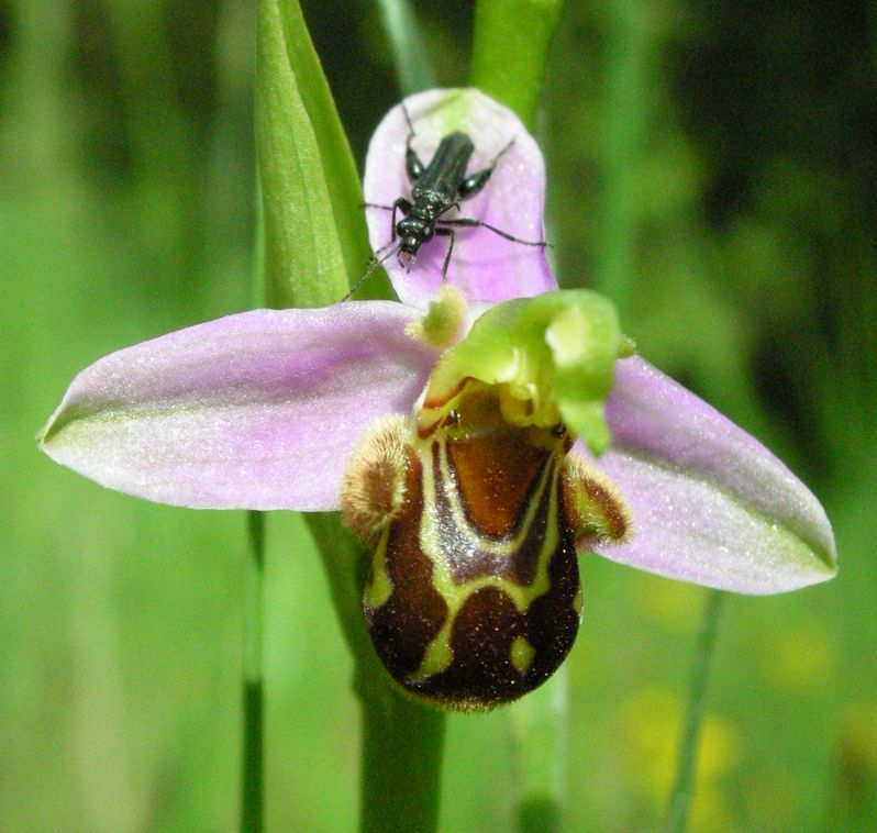 ophrys apifera (les premières que je vois dans ma vie) Ophrys11