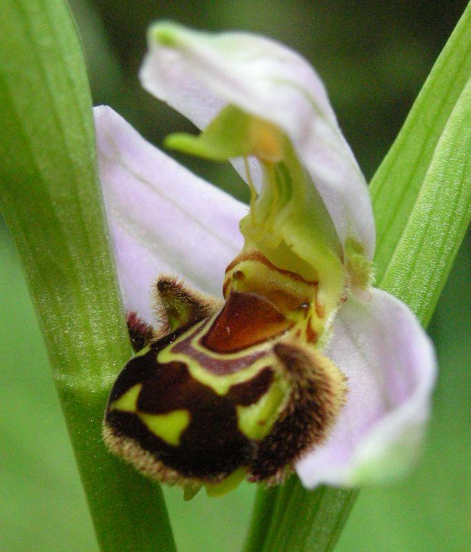ophrys apifera (les premières que je vois dans ma vie) Ophrys14