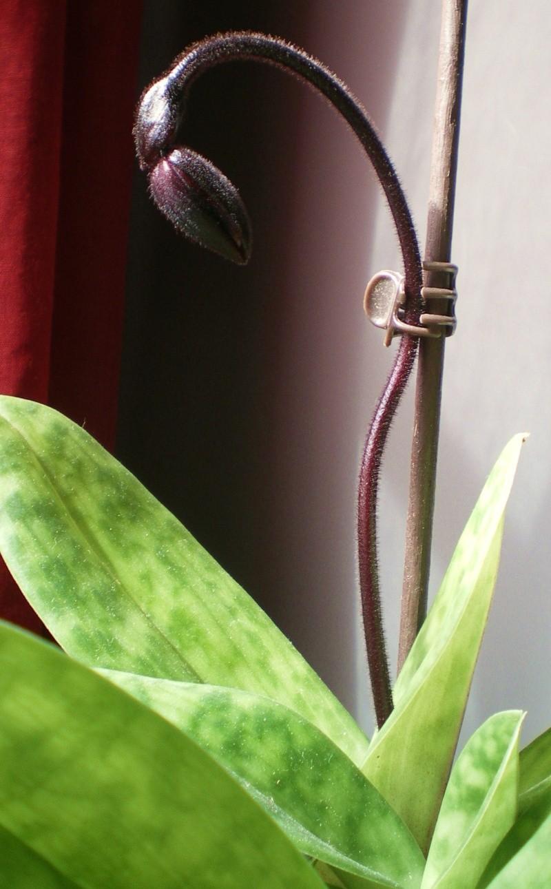 floraison de mon paphiopedilum 01610