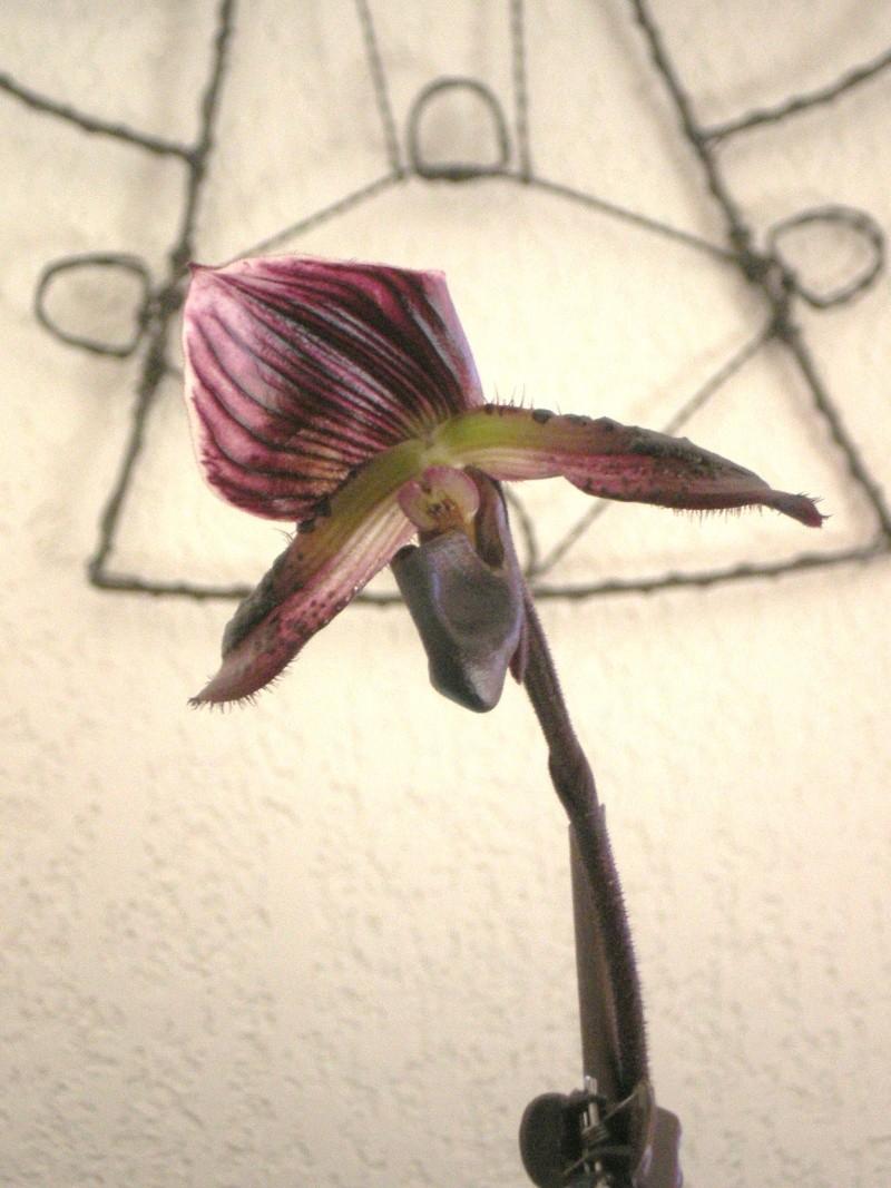 floraison de mon paphiopedilum 05210