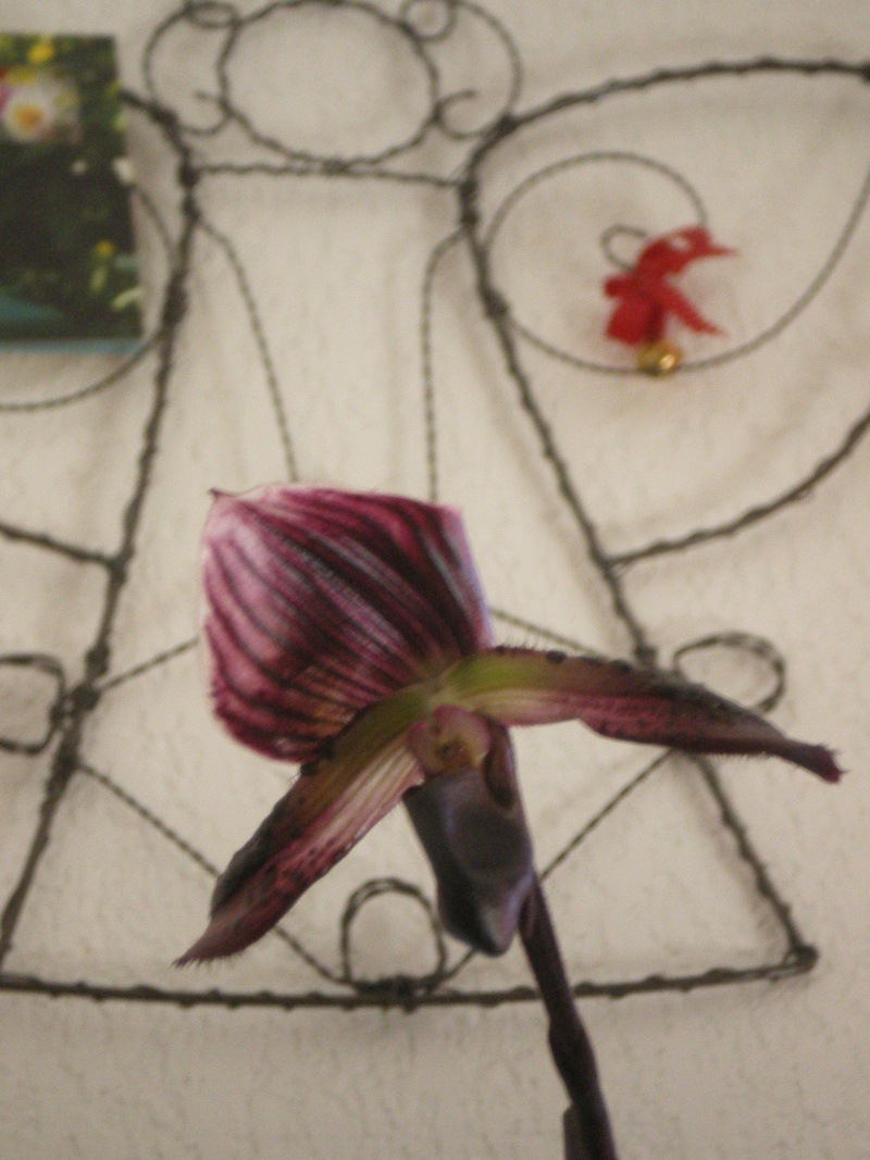 floraison de mon paphiopedilum 05310