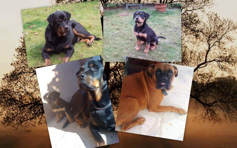 Ici venez remplir la fiche d'identité de votre chien avec sa photo à la suite des autres chiens du forum Sample11