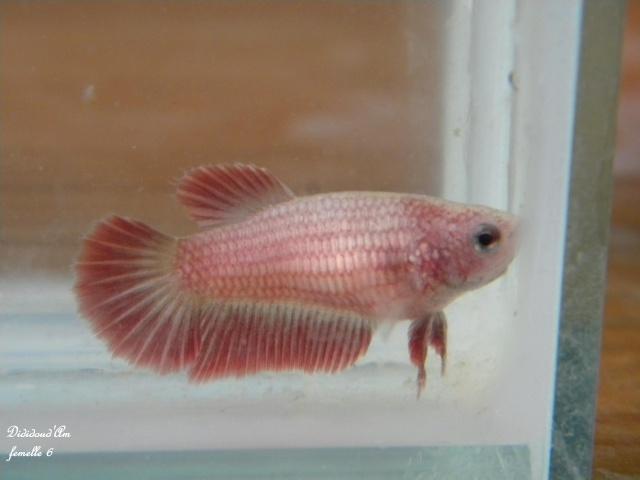red dragon  X femelle cambodge rouge platinium métallique, geno dragon Dscn4510