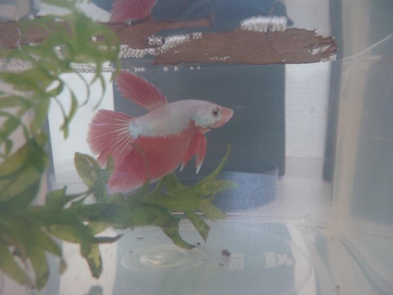 red dragon  X femelle cambodge rouge platinium métallique, geno dragon P1020816