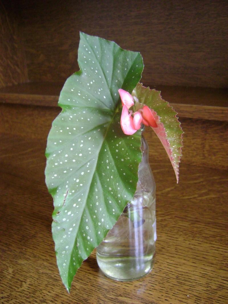 identification [Begonia  X Lucerna ] 110