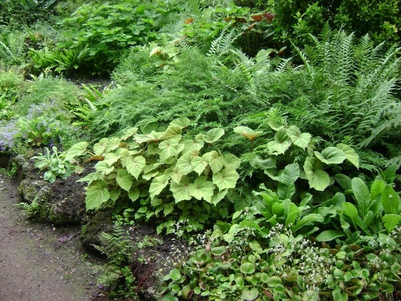 Begonia grandis Begoni11