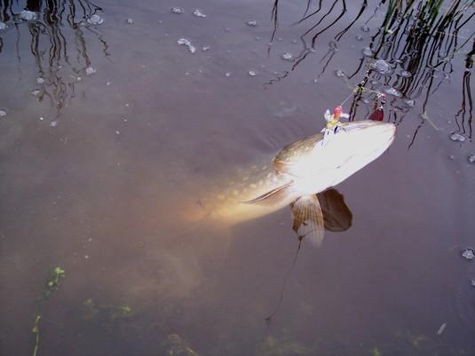 La pêche aux spinnerbaits 100_5310
