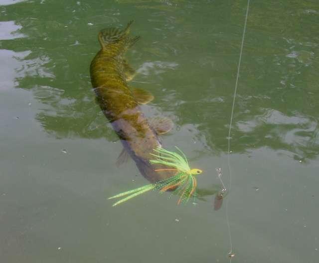 La pêche aux spinnerbaits 11953316