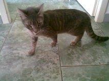 Trouvée à Leguevin, chatte tigrée Getatt13