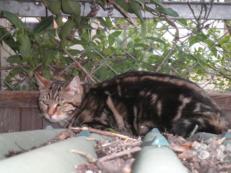 Trouvé à Colomiers chat tigré Hulyss10
