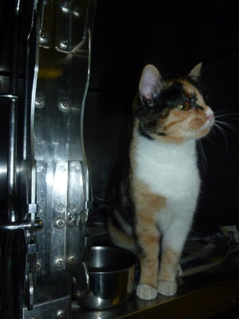 Trouvée à Colomiers chatte tricolore P1090411