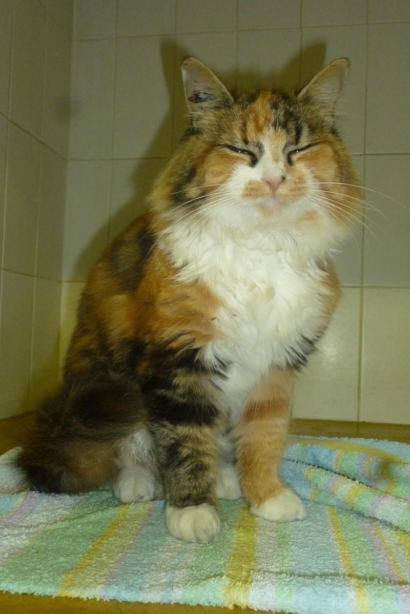 Trouvée à Pibrac chatte tricolore poils mi-longs P1090511