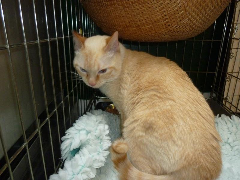 Trouvé à colomiers chat roux clair yeux bleus P1100923