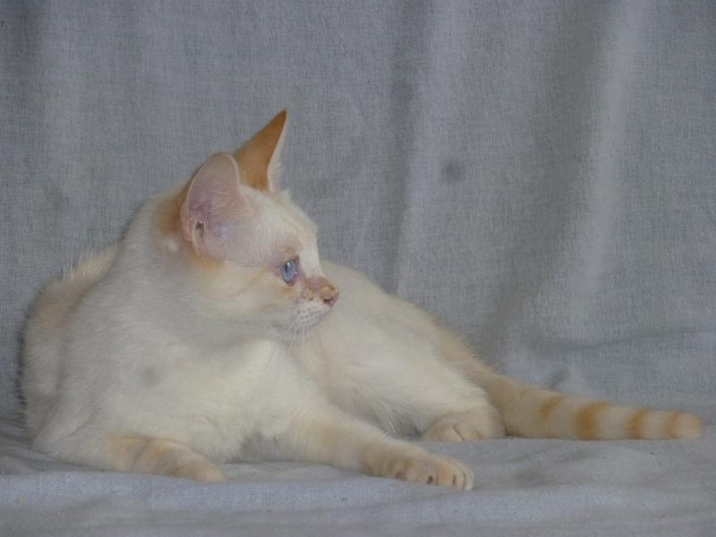 Perdue chatte blanche extrêmités rousses yeux bleus à Leguevin P1110718