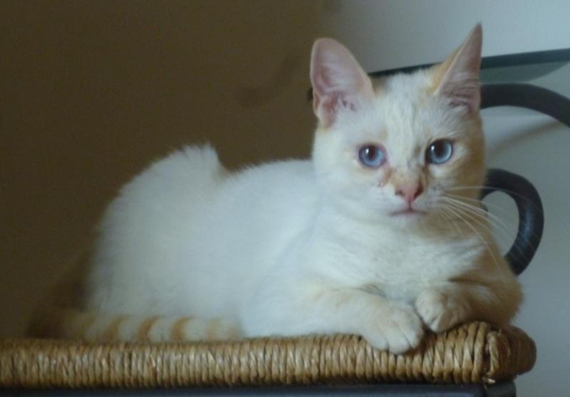 Perdue chatte blanche extrêmités rousses yeux bleus à Leguevin P1110813