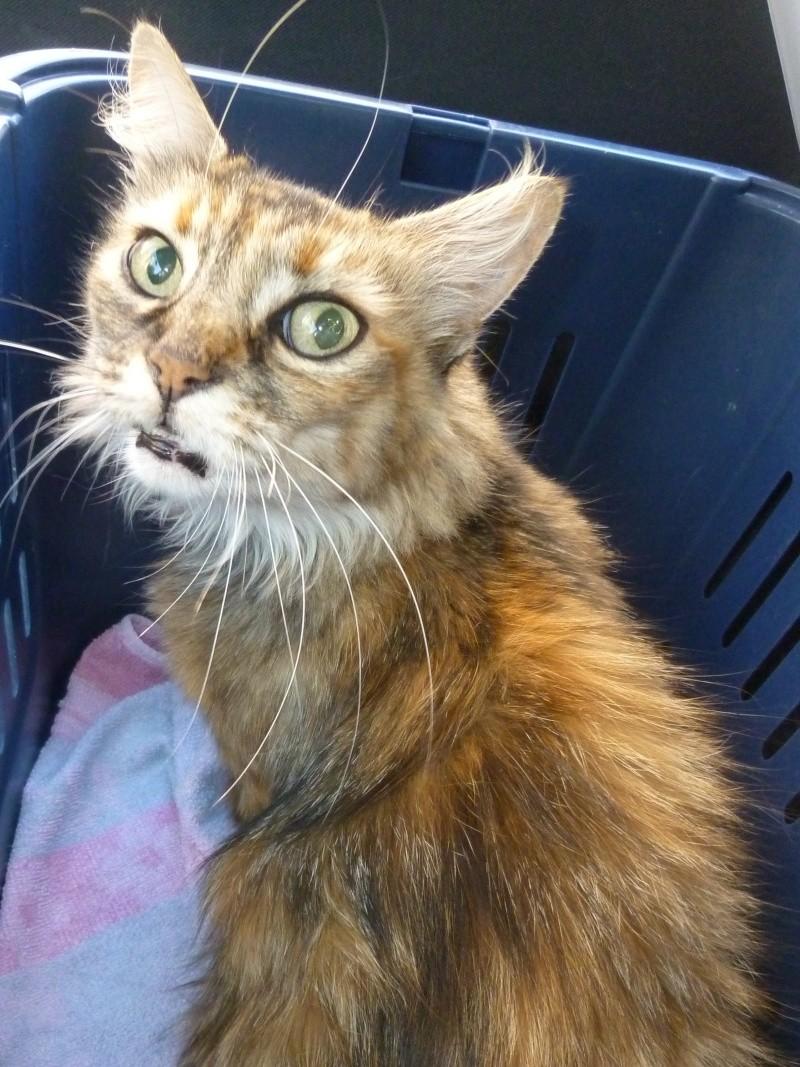Trouvée à Tournefeuille, chatte marron/rousse poils mi-longs P1120714