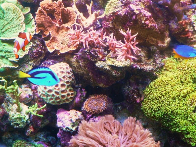 Le bac des Maniacodesrécifs (méthode Reefcorner) P1040113